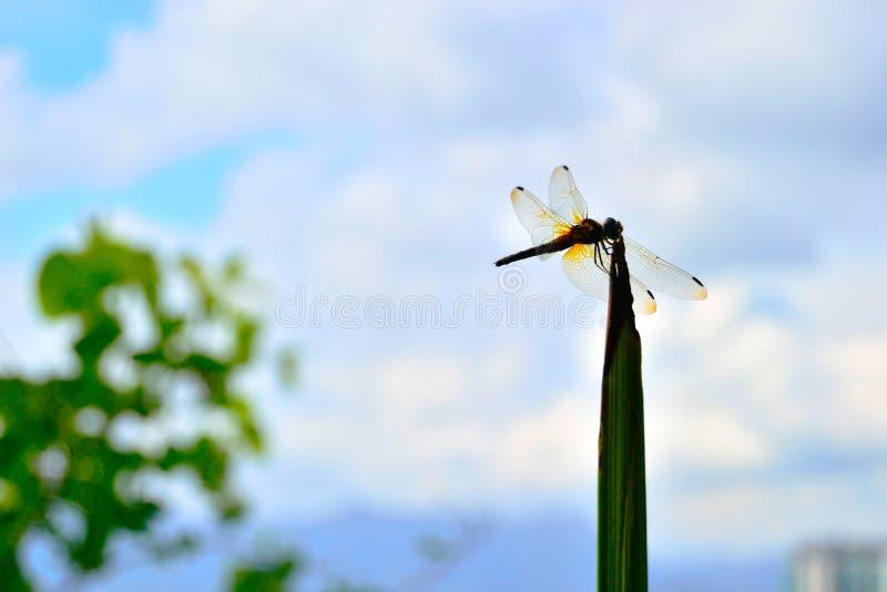 Una estancia transparente amarilla de la libélula en una hierba fotos de archivo libres de regalías