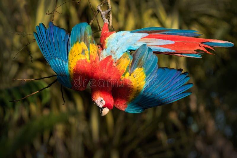 Una exhibición hermosa de la pluma de un macaw del escarlata imagenes de archivo