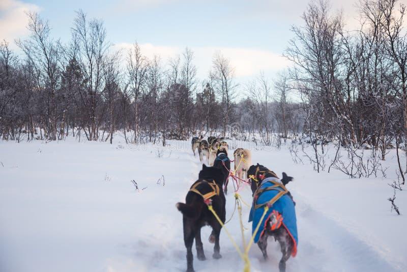 Una experiencia emocionante que monta un trineo del perro en el paisaje del invierno Bosque y montañas Nevado con un equipo del p imagen de archivo