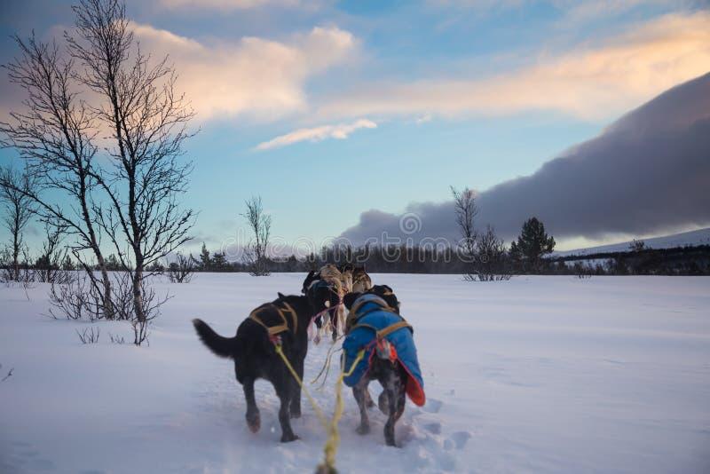 Una experiencia emocionante que monta un trineo del perro en el paisaje del invierno Bosque y montañas Nevado con un equipo del p imagenes de archivo