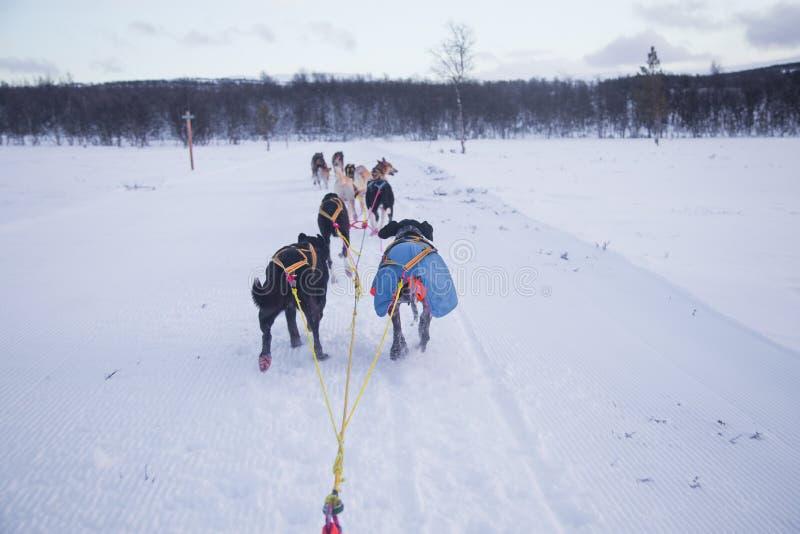 Una experiencia emocionante que monta un trineo del perro en el paisaje del invierno Bosque y montañas Nevado con un equipo del p fotos de archivo libres de regalías