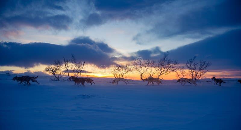 Una experiencia emocionante que monta un trineo del perro en el paisaje del invierno Bosque y montañas Nevado con un equipo del p imagen de archivo libre de regalías