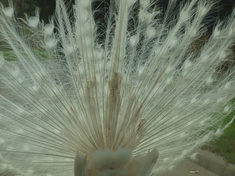 Una explosión de las plumas blancas hace para las buenas texturas fotografía de archivo