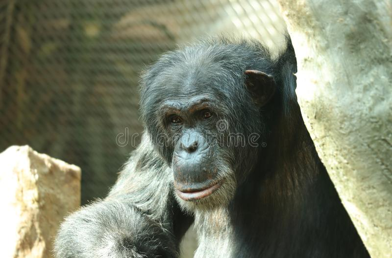 Una expresión feliz del chimpancé común en altas ramas El sentarse y relajación después de día largo Él tiene piel negra con las  foto de archivo libre de regalías