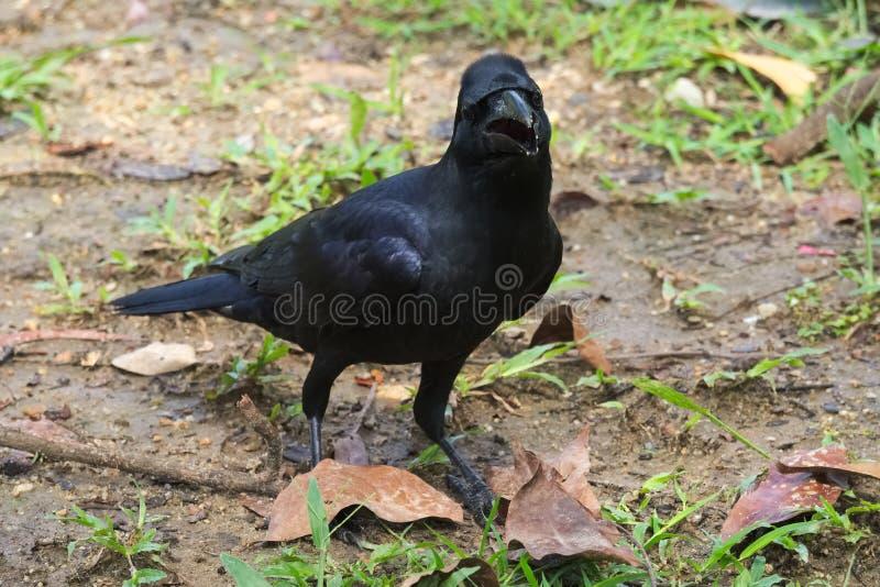 Una expresión inusual, dorky en la cara de un cuervo negro gallardo, caminando en la tierra fangosa foto de archivo libre de regalías
