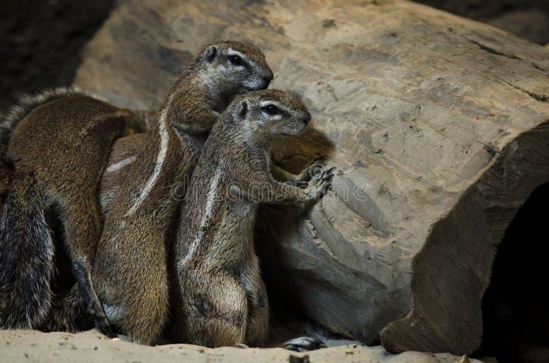 Una famiglia degli scoiattoli a terra che si nascondono dietro un grande vecchio albero immagini stock