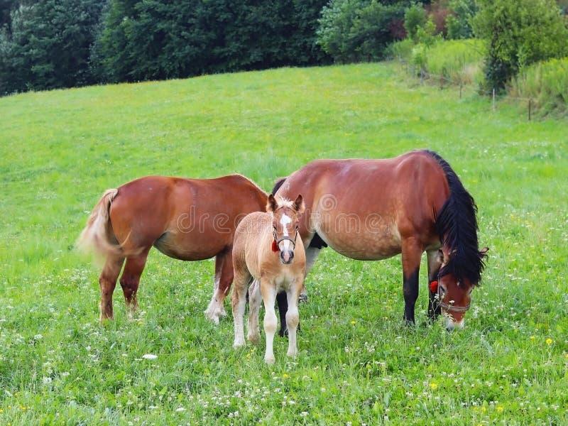Una famiglia dei cavalli di lavoro rossi pasce su erba verde fertile Stalloni e cavalli adulti della trazione Zootecnia e coltiva fotografia stock libera da diritti