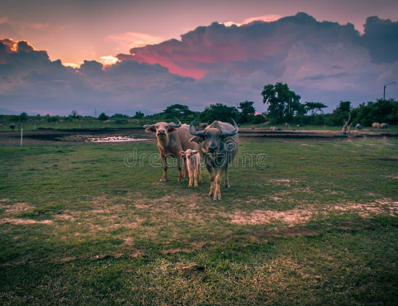 Una famiglia del bufalo immagine stock libera da diritti