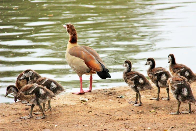 Una famiglia delle anatre vicino al lago fotografia stock