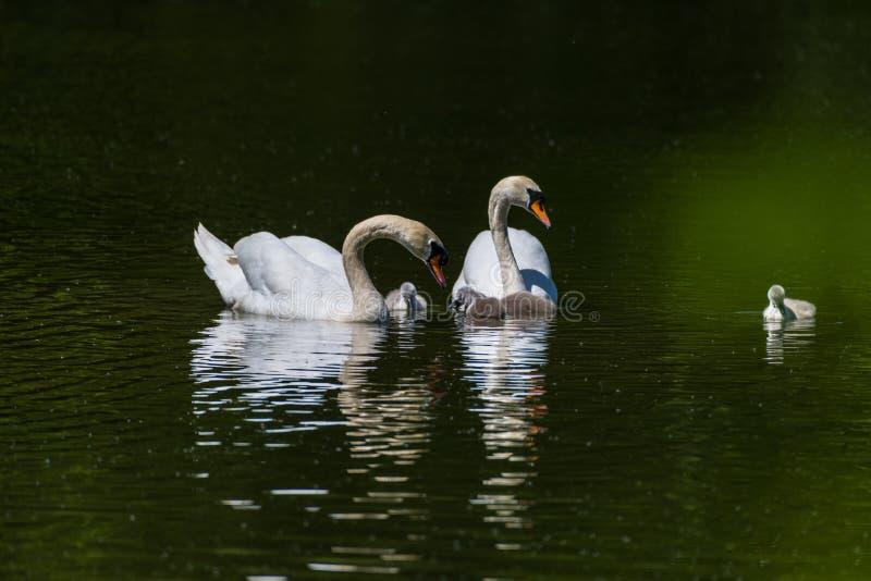 Una familia de cisnes mudos fotografía de archivo