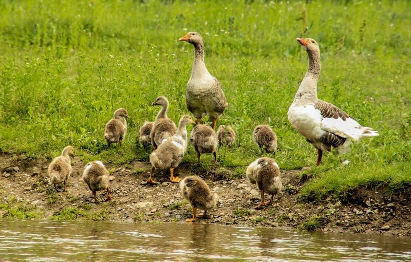 Una familia de gansos con los pequeños ansarones se está colocando en el banco imagen de archivo
