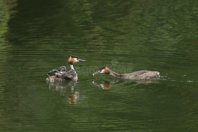 Una familia de gran natación imponente del cristatus del Podiceps del colimbo con cresta en un río Uno de los pájaros del padre e foto de archivo