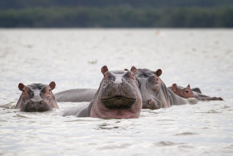 Una familia de hipopótamos en el agua del lago imagenes de archivo