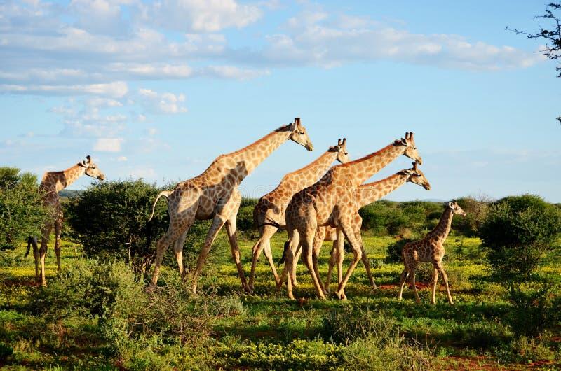 Una familia de jirafa imagenes de archivo
