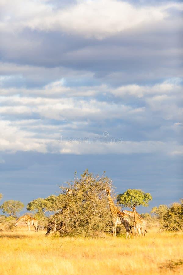 Una familia de jirafa en el parque de Kruger foto de archivo