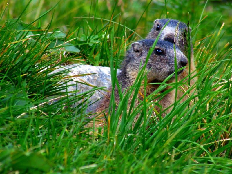 Una familia de la marmota fotografía de archivo libre de regalías