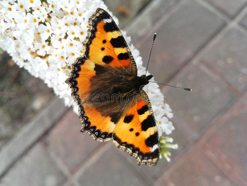 Una farfalla arancio fotografia stock libera da diritti