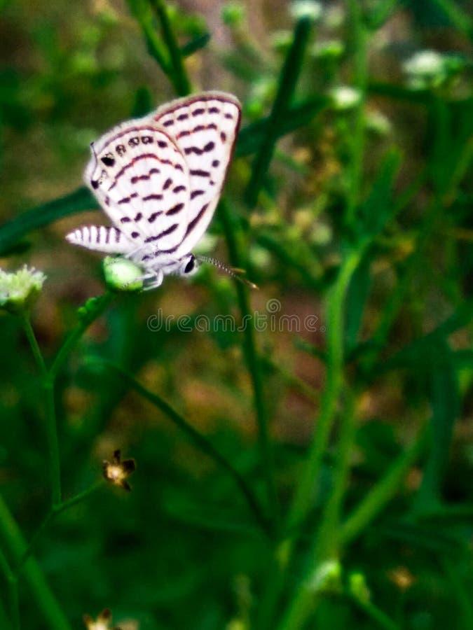 Una farfalla bianca con il fiore bianco immagini stock libere da diritti
