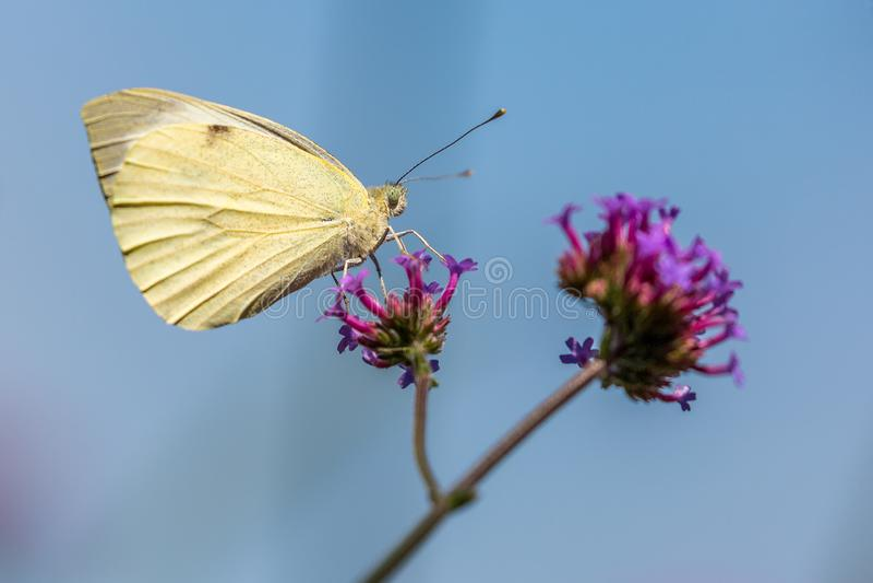 Una farfalla bianca su una verbena immagine stock