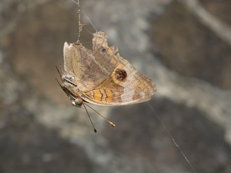 Una farfalla bloccata in ragnatela fotografia stock