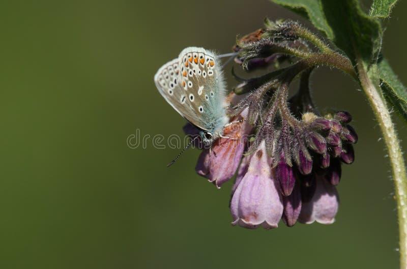 Una farfalla blu comune graziosa, Polyommatus Icaro, appollaiantesi su un fiore della consolida maggiore fotografie stock