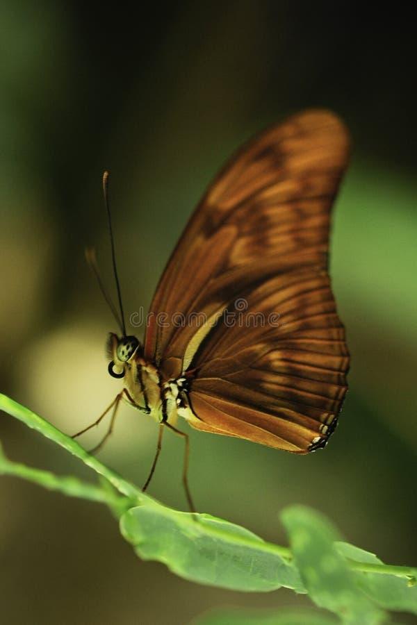 Una farfalla blu-glassata del esite di numilia di Catone Catonephele spande le sue ali fotografia stock
