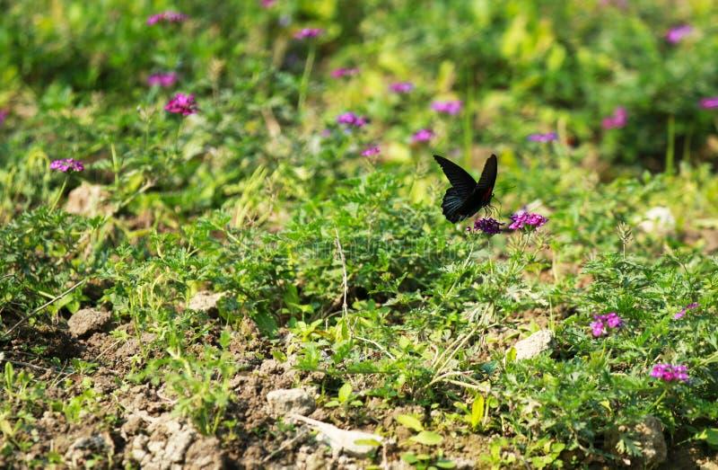 Una farfalla che fluttua fra i fiori fotografia stock