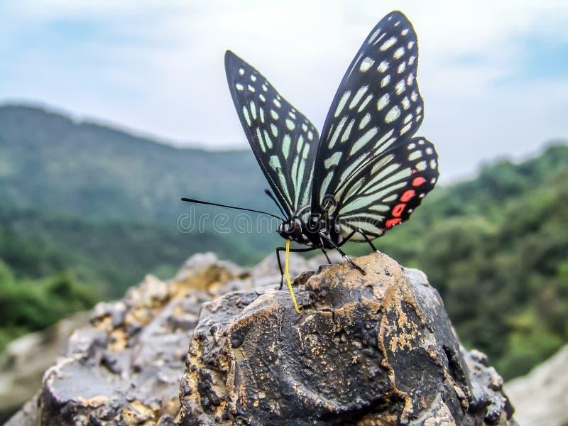 Una farfalla che riposa su una roccia fotografia stock libera da diritti