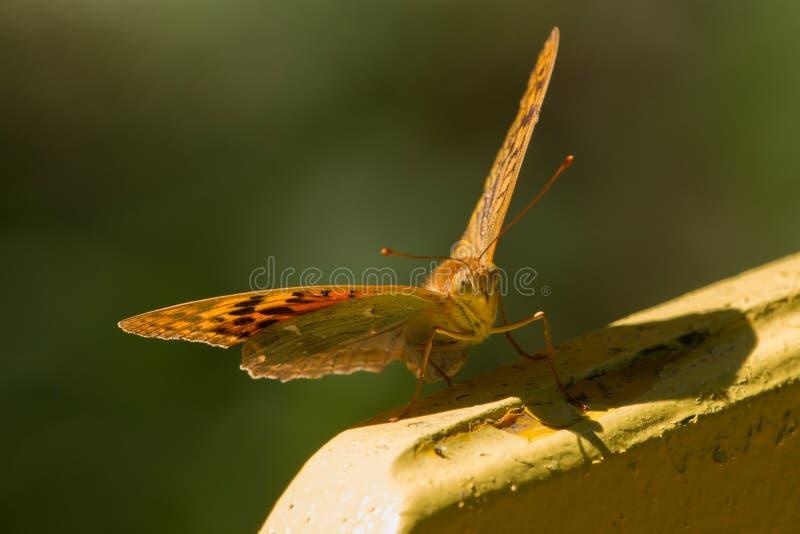 Una farfalla che si siede su un banco immagine stock libera da diritti