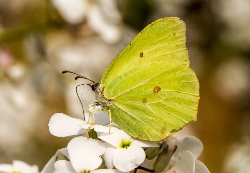 Una farfalla dello zolfo sui hespiris immagini stock