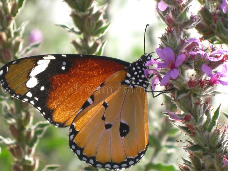 Una farfalla di cardui della vanessa su un fiore della molla immagine stock