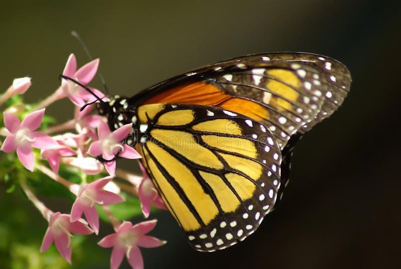 Una farfalla di monarca immagine stock