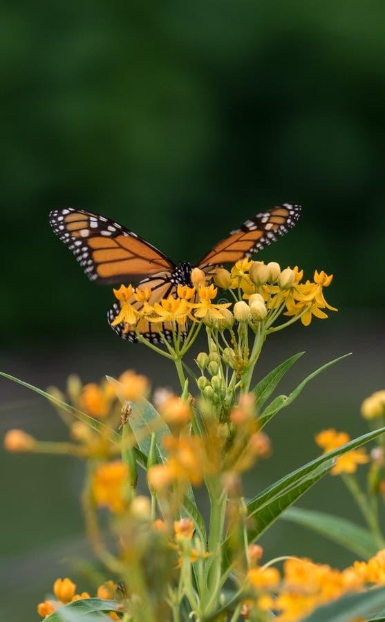 Una farfalla di monarca appollaiata sui Wildflowers gialli immagine stock