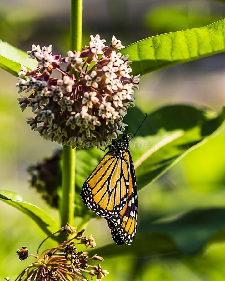 Una farfalla di monarca che impollina un milkweed immagini stock