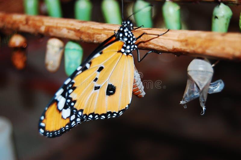Una farfalla di monarca sviluppata immagini stock libere da diritti