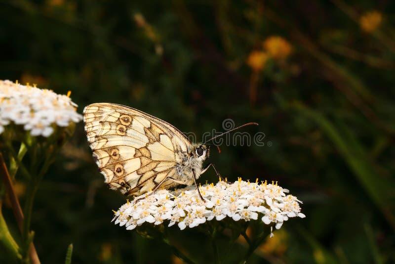 Una farfalla di sonno sul fiore quando il sole stava mettendo 1 fotografia stock