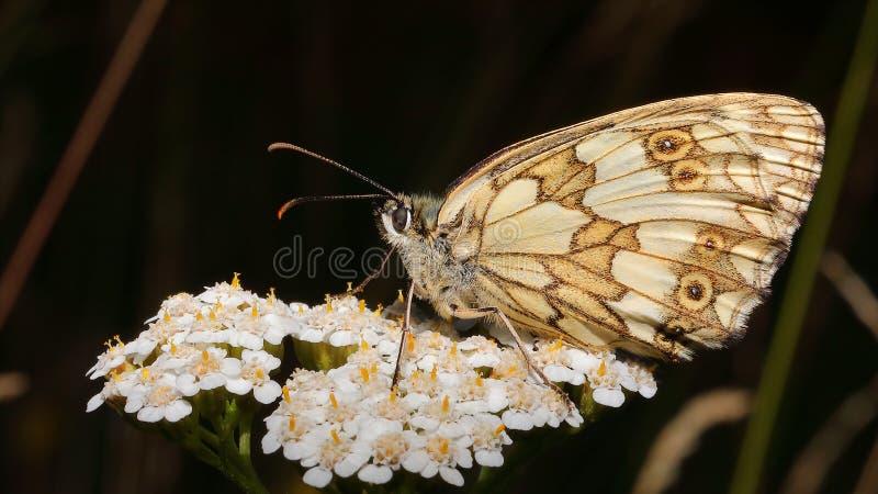 Una farfalla di sonno sul fiore quando il sole stava mettendo 2 fotografie stock