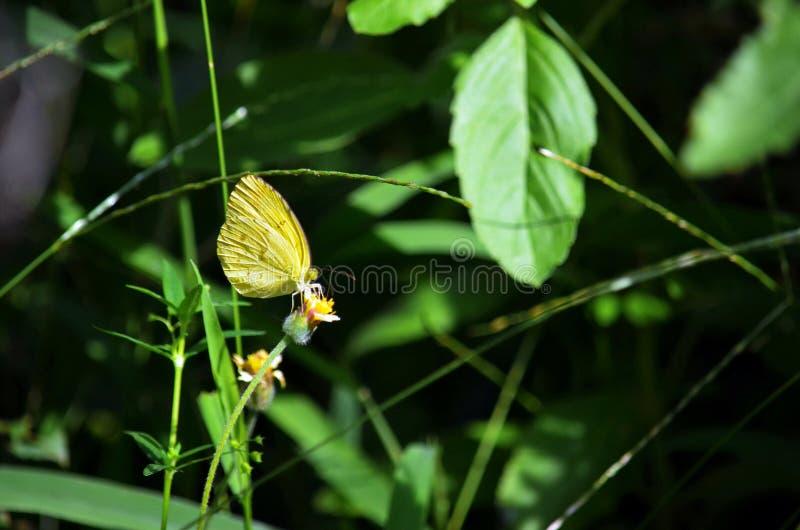 Una farfalla gialla dell'erba che estrae nettare da un fiore dell'erbaccia di Shaggy Soldier nella giungla immagini stock