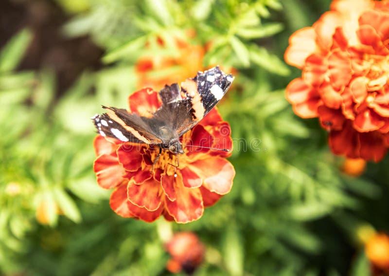 Una farfalla raccoglie il polline dai fiori rossi su un fondo di erba verde Primo piano immagine stock libera da diritti