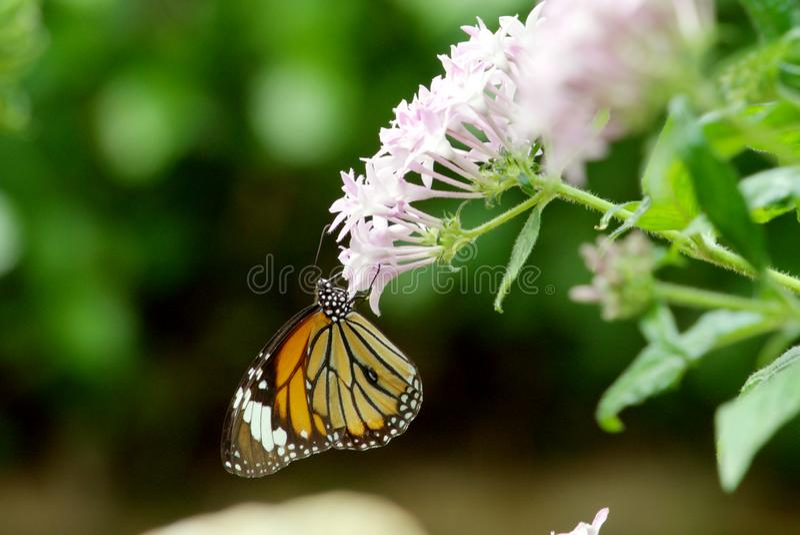 Una farfalla, sedentesi su un fiore immagini stock