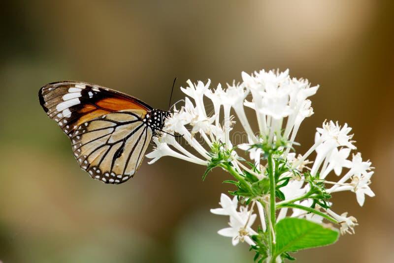 Una farfalla, sedentesi su un fiore fotografia stock libera da diritti