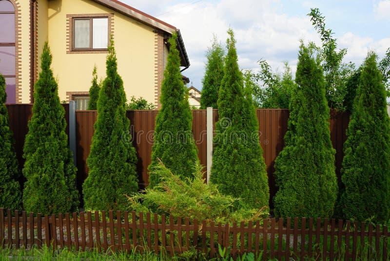 Una fila de árboles ornamentales coníferos verdes cerca de una cerca marrón fotografía de archivo