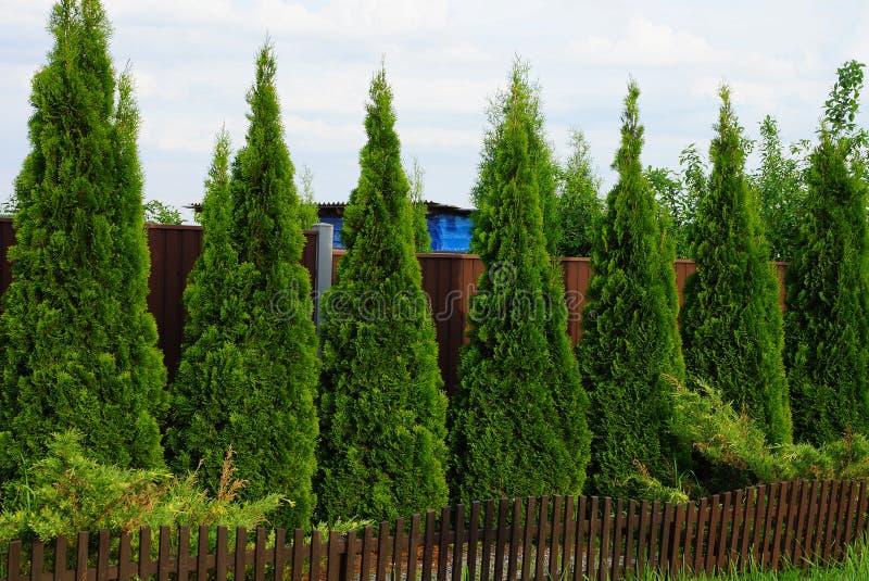 Una fila de árboles ornamentales coníferos verdes cerca de una cerca marrón foto de archivo
