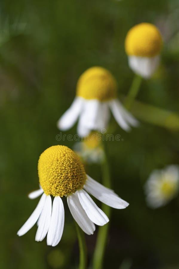 Una fila de las flores alemanas de la manzanilla en la floración imagen de archivo libre de regalías