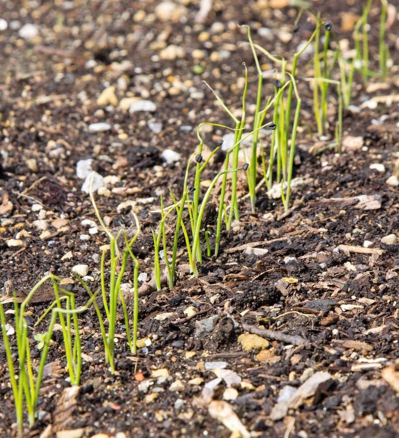 Una fila de las plantas de cebolla jovenes fotografía de archivo