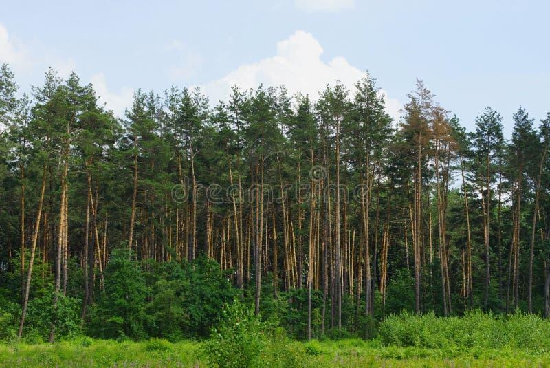 Una fila de los árboles de pino coníferos verdes altos en el borde del bosque imágenes de archivo libres de regalías