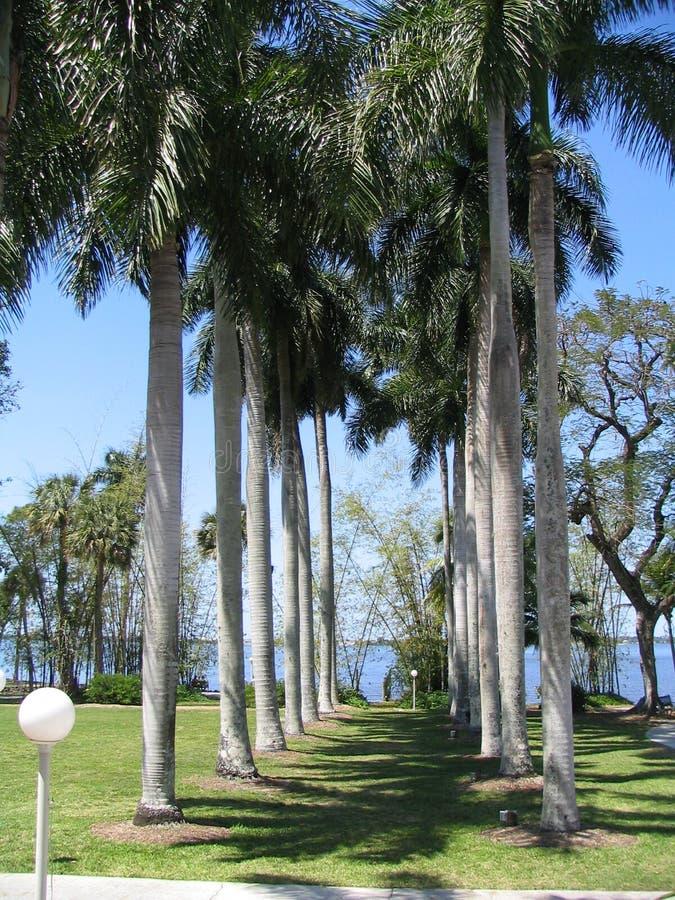 Una fila de palmeras fotografía de archivo