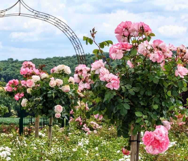 Una fila de rosas estándar rosadas en un jardín imagenes de archivo