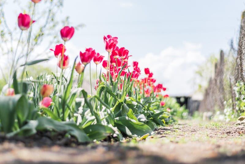 Una fila de tulipanes en un jardín fotografía de archivo