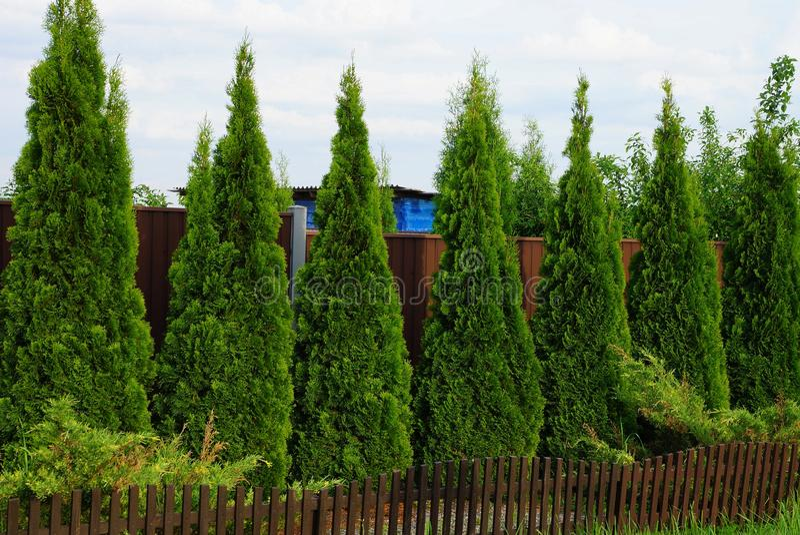 Una fila degli alberi ornamentali coniferi verdi vicino ad un recinto marrone fotografia stock